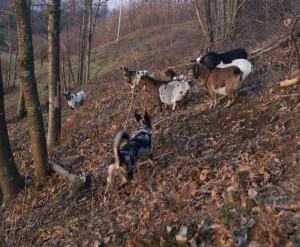 Pastore Apuano al lavoro con le capre