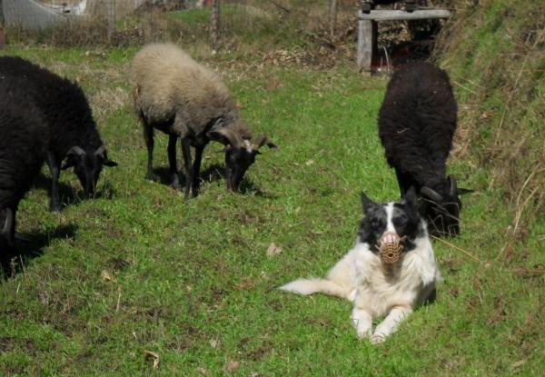La Storia Del Cane Da Pastore Apuano Maneggio Apuo Ranch